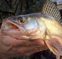 Ловля судака на живца — снасти и разные техники ловли