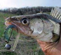 Ловля судака осенью на джиг-выбор приманки и способы ловли