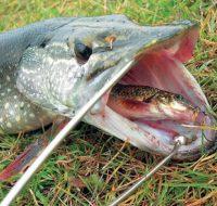 Щука на поплавок с живцом — перед какой рыбой щука не может устоять?